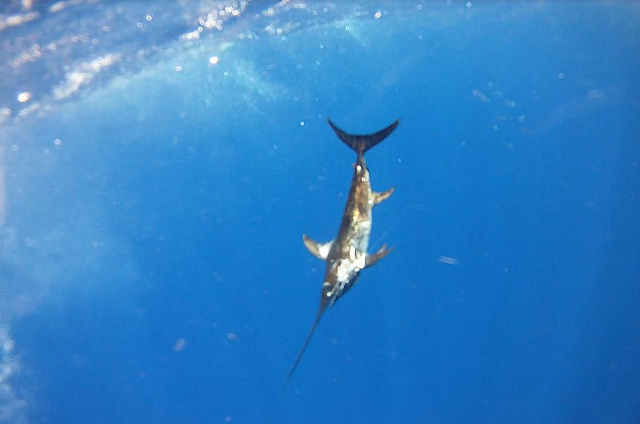 NMFS Institutes More Swordfish Research Off Florida, Praised by EDF