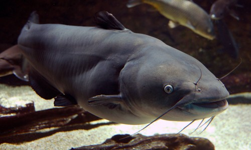 FSIS Discontinuing Third-Party Hold and Test Sampling of Catfish