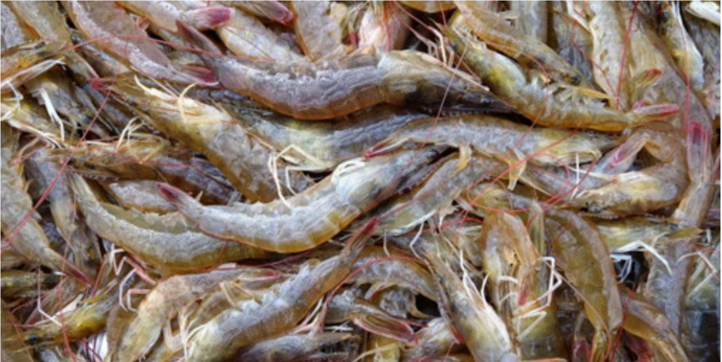 Zhanjiang's White Shrimp Frozen Exports Increase This Year