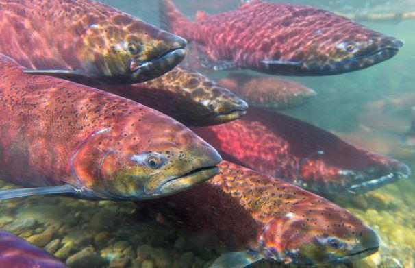 West Coast Salmon Seasons Set After Week of Tensions, Struggles