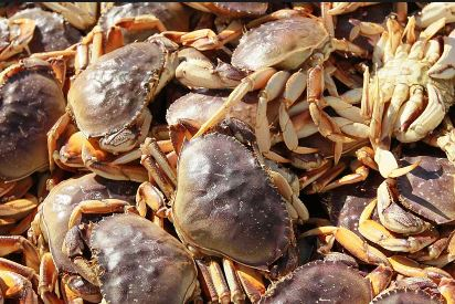 Washington Dungeness Crab Meat Recovery Drops; Further Delay Possible