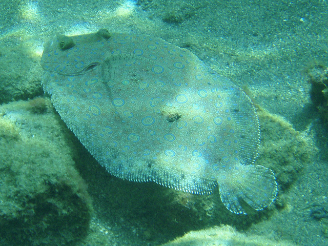 Unprecedented Federal Overturning of ASMFC Decision May Push Flounder to Overfished Status