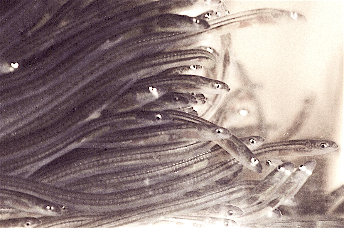 Sustainable Eel Group Says 110 Million Juvenile Glass Eels Have Been Trafficked to Asia