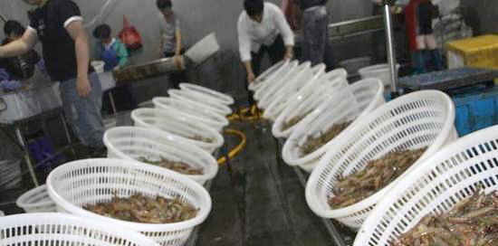 Shandong Has Developed into Strong Distribution Hub for China Kuruma Shrimp; 80% Sold in the South
