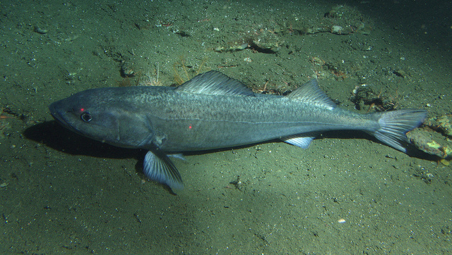In Their Own Words: Sablefish Gear Switching in the West Coast Trawl Quota Program