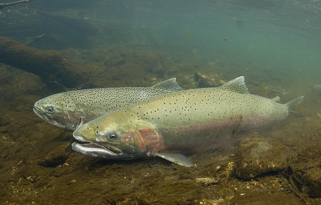 Study Finds Bitumen Spill Could Hinder Salmon Swimming Performance