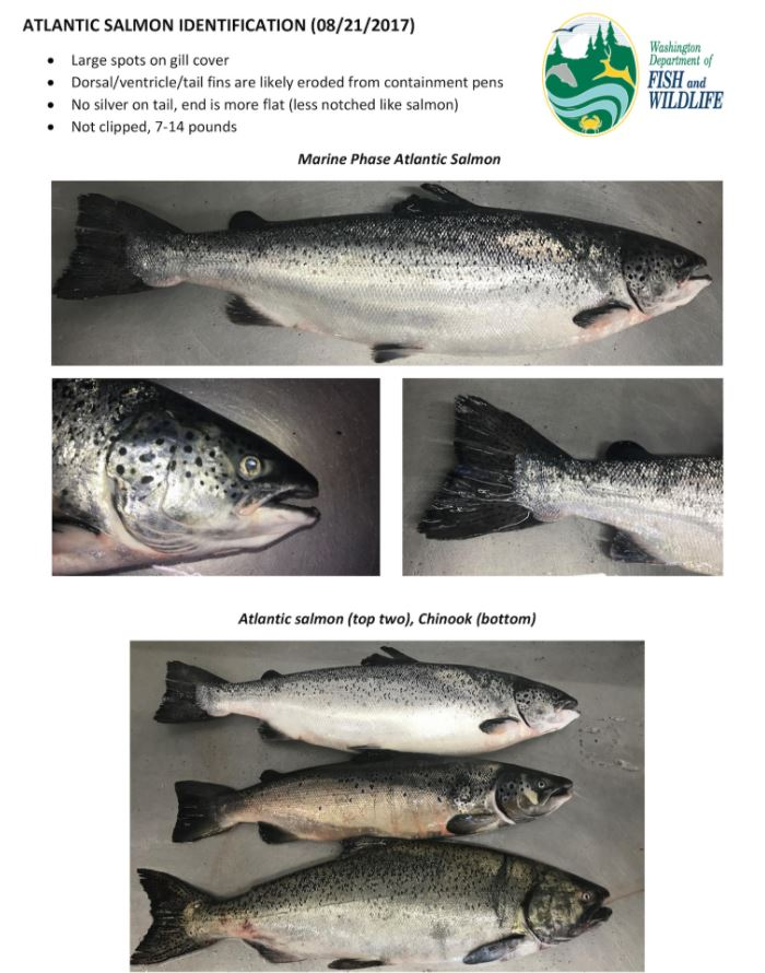 Washington State, Alaska Respond to Atlantic Salmon Escape; So Far No Fish Seen in SE Alaska