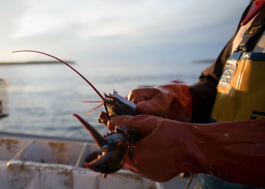 The Maine Lobster Science Study May Help Conservation Management in Other Parts of the Country