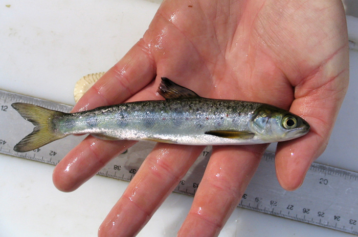 Cooke gets permit to move 1 million smolts to puget sound for Atlantic fish fry