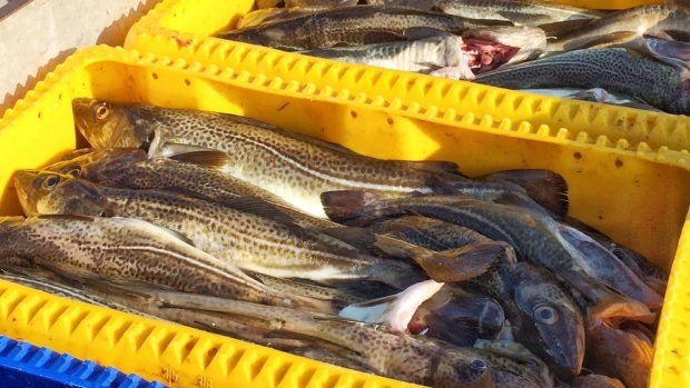 FFAW Wants Increased Cod Quotas in Newfoundland While DFO Urges Caution