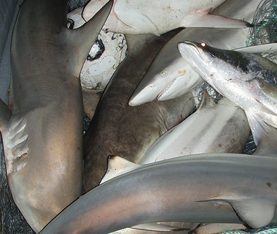 ENGOs Renew Push for Shark Trade Elimination Act Passage; Industry, Scientists Push Back