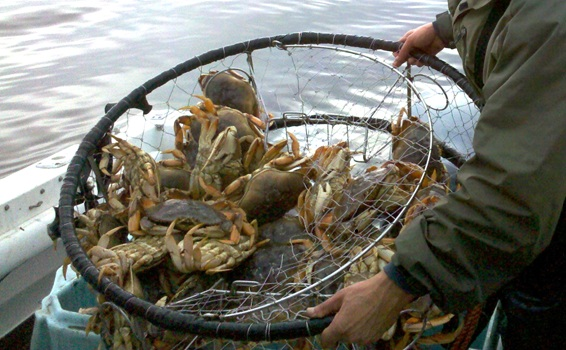 Oregon Delay in Dungeness Crabbing has Wide Economic Impact, More Frozen Crab