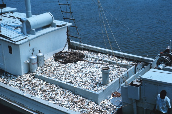 Lots of Reasons to Decline Lenfests Menhaden Reference Points, Says Beaufort Lab Scientist