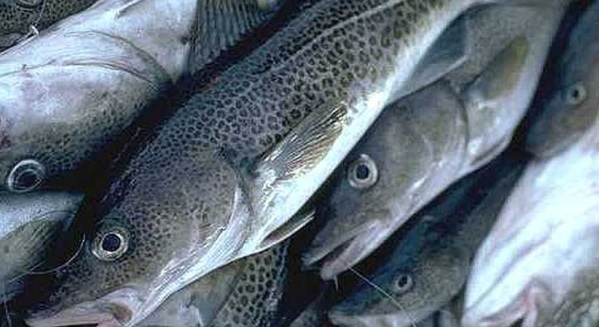 Barents Sea Cod Quota for 2018 Reduced For Russia and Norway