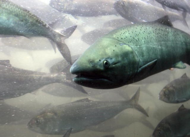Court Grants Increased Spill to Aid Endangered Columbia/Snake River Salmon