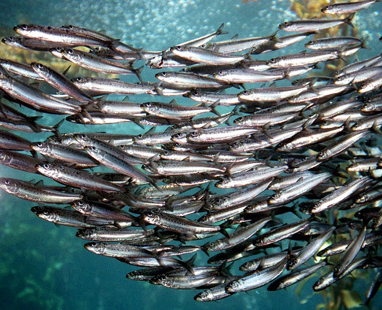 California Wetfish Group Tells Council Sardine Assessment is Badly Flawed