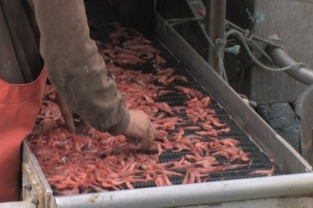 Oregon Pink Shrimp Price Negotiations Canceled This Week