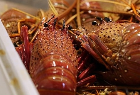 Australias Southern Rock Lobster Stocks Showing Resistance to Climate Change