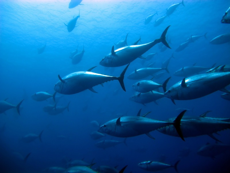 ISSF Seeks to Strengthen Tuna Conservation Efforts at IAATC