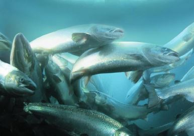 DFO Finds Minimal Risk of Virus Transfer in Salmon