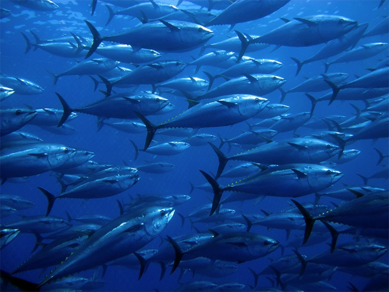 Tuna-Fishing Nations Agree on Plan to Replenish Severely Depleted Pacific Bluefin Stocks