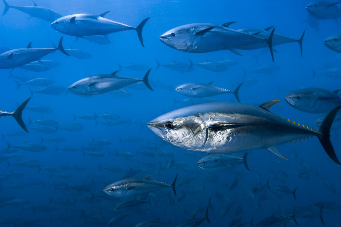 WWF Opposes Big Increase In Bluefin Tuna Quotas at Upcoming ICCAT Meeting