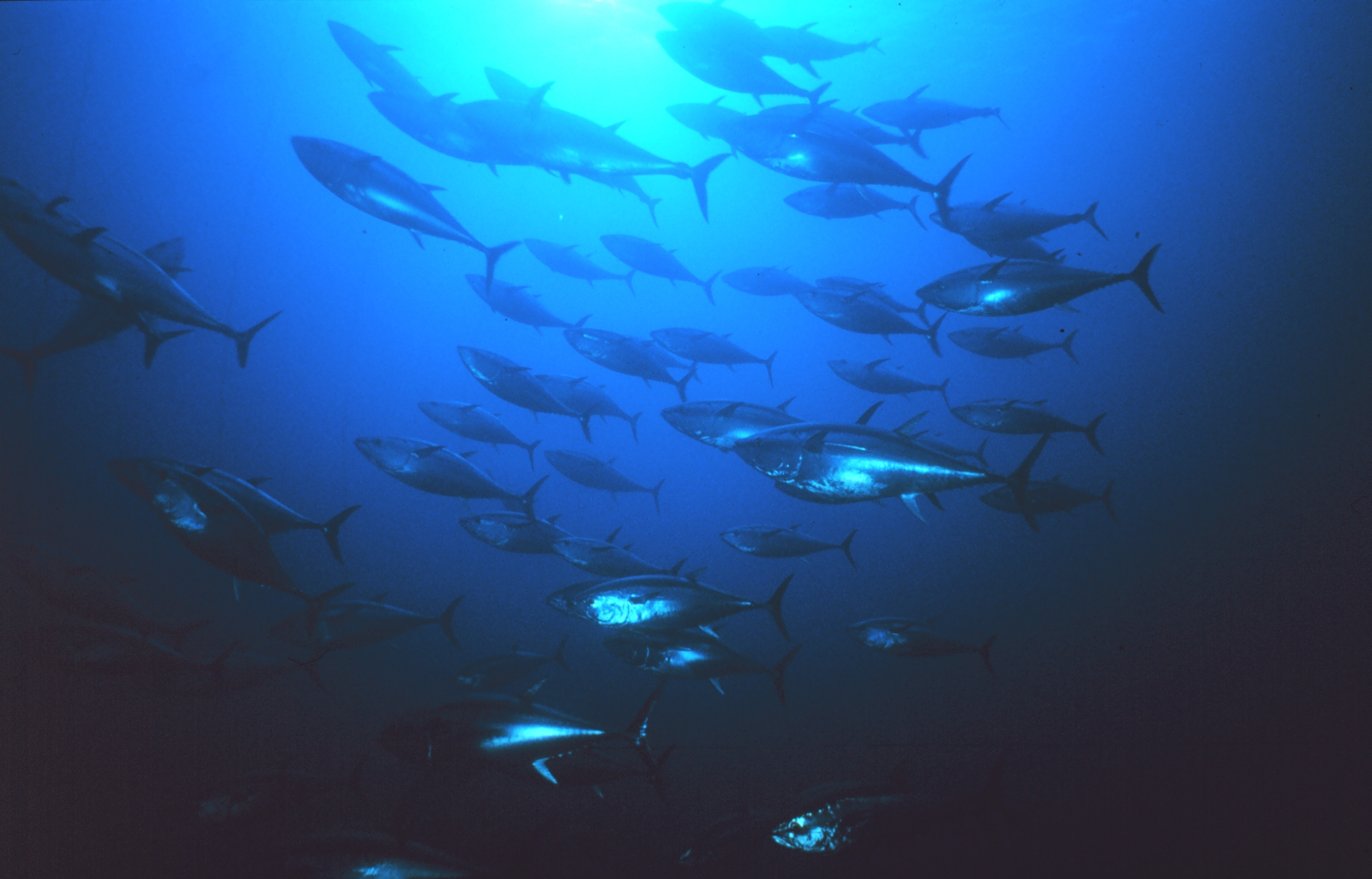 Pacific Bluefin Tuna Stays Off ESA List