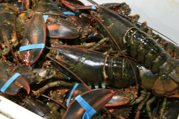 Lobster Babies in the Gulf of Maine Declining; Portland Dealer Will Pay to Get an Answer