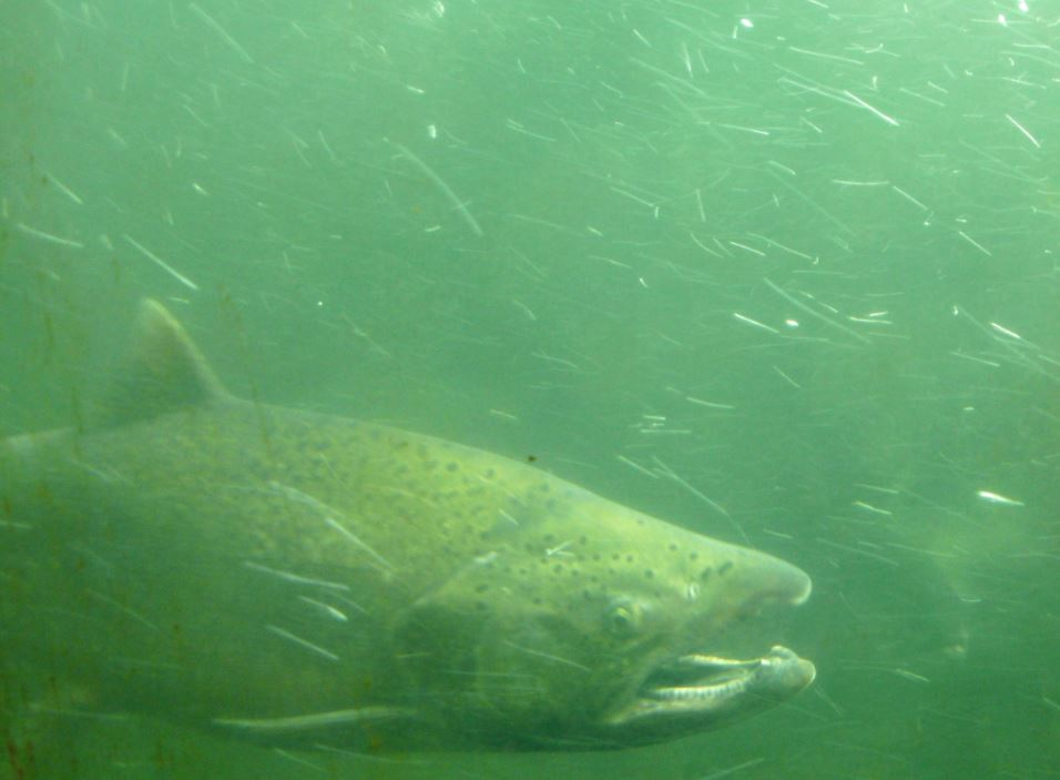 Magnetics Tell Tiny Chinook Salmon Which Way Is Up