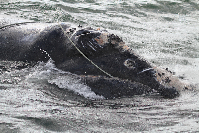 Why 12 Right Whales Died in Canadian Waters ... and Why More Will Die if Nothing is Done