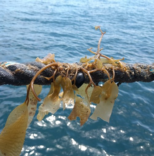 Catalina Sea Ranch Snags Federal Grant to Start Kelp Farming