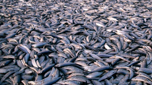 New England Herring Fishing to Be Shut Down in October