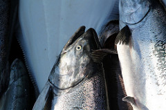 Alaska Tagging Experiment Offers Evidence that Setnet-Caught King Salmon Survive after Release