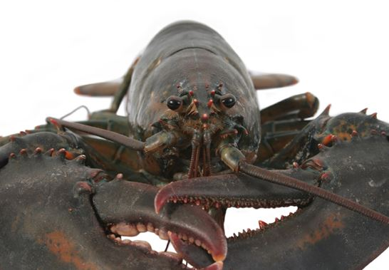 Lobster Fisherman Defends Maligned Practice of Controlling Agreements