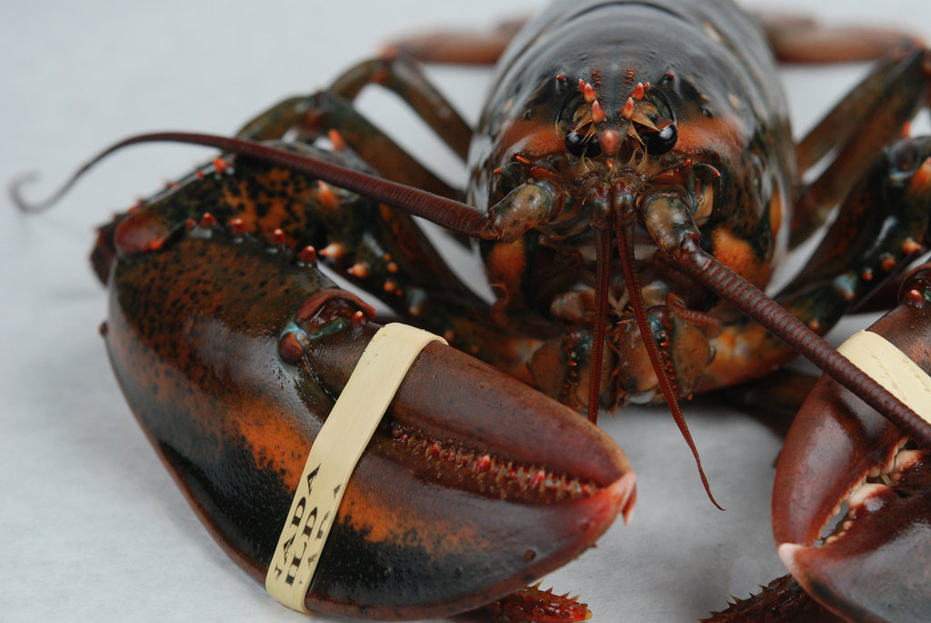 ASMFC Invites Submission of Data for Developing Lobster Benchmark Stock Assessment