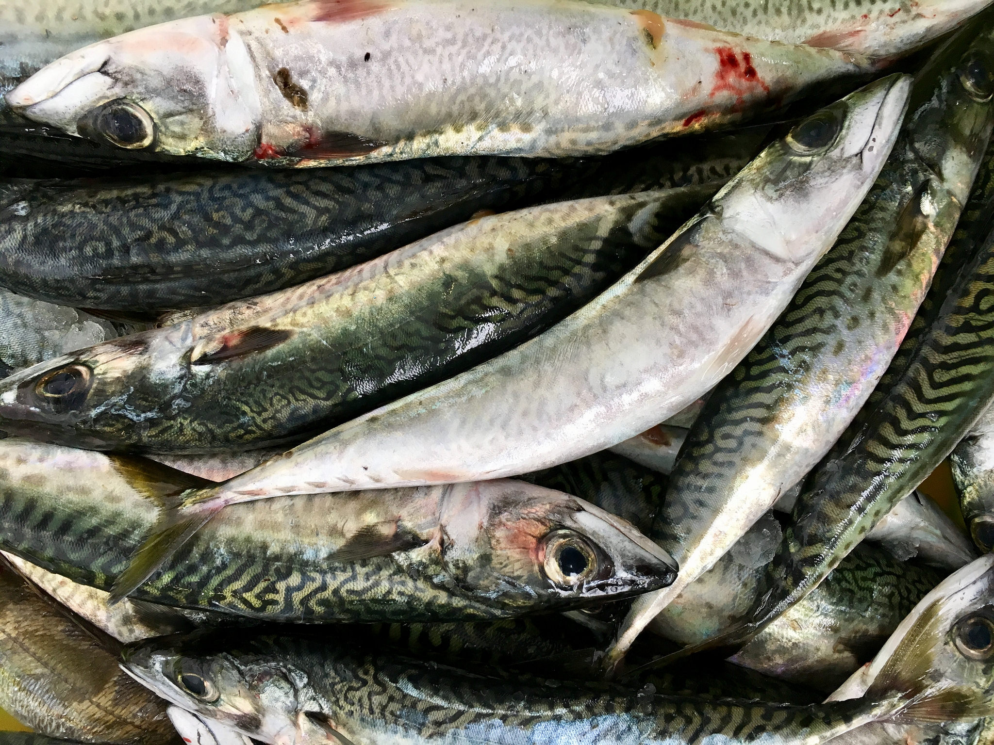 East Coast Mackerel Fishery Restricted Due to Fishermen Exceeding Limits on Other Species