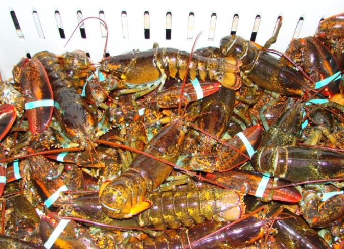 Maine Lobstermen Will Lose if South Korean Trade Deal is Killed