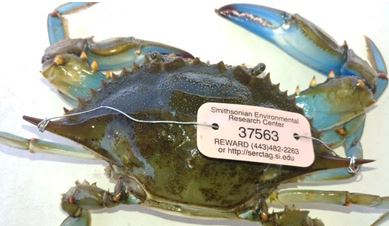 Blue Crab Tagged in Maryland Turns Up in Florida Two Years Later