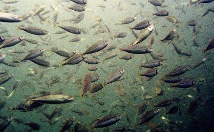Virginia House Kills Menhaden Bill that Would Have Complied with ASMFC Limits