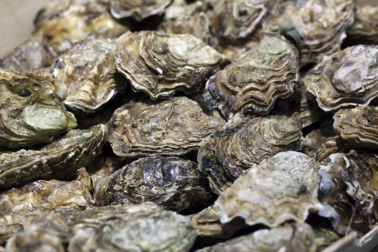 Farmed Oyster Harvesting Starts in Dubai with Imported Gigas Spat