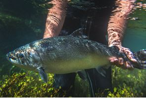 New Zealand King Salmon Now Offering Four-Star BAP Salmon