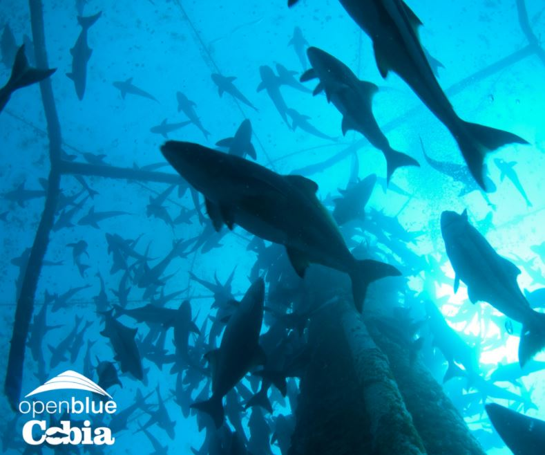 Open Blue First Cobia Company To Achieve Asc Certification