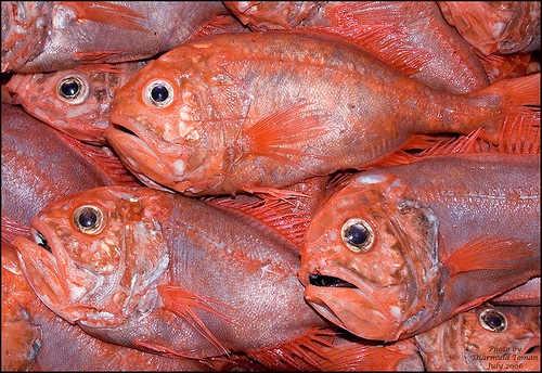 Roughy on the Rise Chronicles Comeback of New Zealands Orange Roughy Stocks
