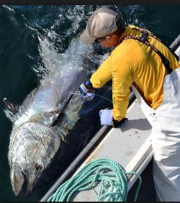 PEI Bluefin Tuna Quota to Climb 25% Next Year