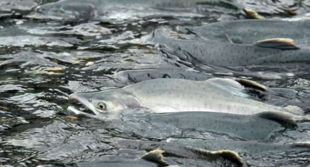 Pink Salmon Found in Odd Places Near Homer