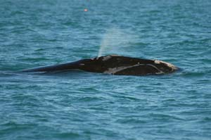NOAA Awards Maine DMR Grant To Improve Data That Can Be Used to Protect Right Whales