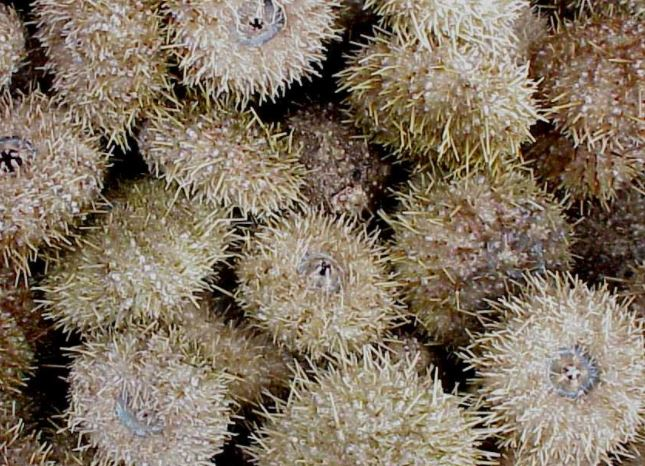 Maines Sea Urchin Harvest About Average in 2017