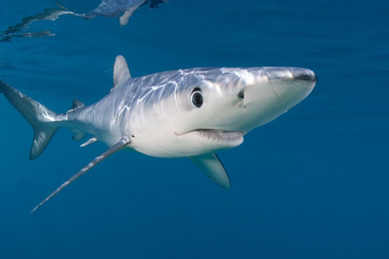NMFS Issues Restrictions on Fishing for Sharks in Eastern Pacific Ocean