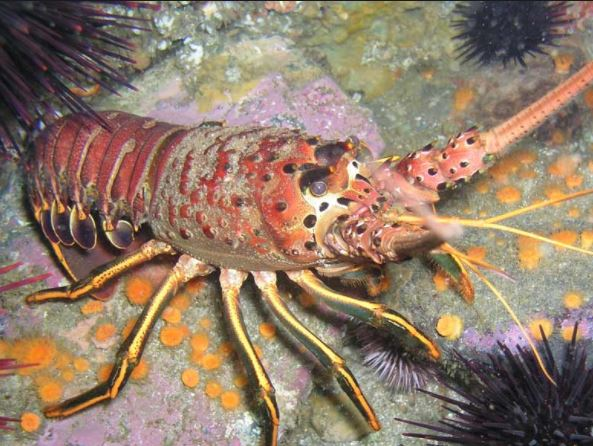 Domoic Acid Levels Drop; California Lobster Fishery Open Coastwide