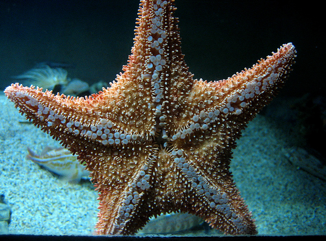 Starfish Making West Coast Comeback after Syndrome Killed Millions